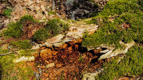 Old wood with moss. Natural background - old wood with moss Royalty Free Stock Image