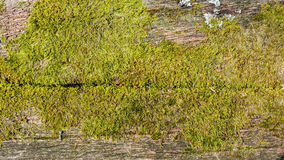 Old wood with moss. Natural background - old wood with moss Stock Photography