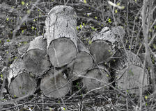 Old wood pile with new growth Stock Photography