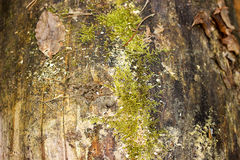 Old wood texture coverd with green moss. Old wood texture coverd with green moss royalty free stock photography