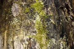 Old wood texture coverd with green moss. Old wood texture coverd with green moss stock image