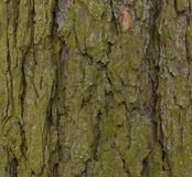 Old wood texture and Lichen on hackmatack larch bark royalty free stock images