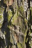 Old wood texture and Lichen on hackmatack larch bark stock photography