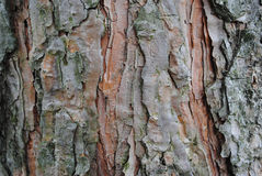 Old wood texture of tree bark. Stock Images