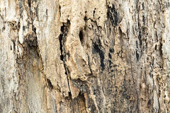Old wood texture of tree bark, tree bark with decay.  Stock Image