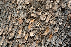 Old wood texture. The tree side view of old wood texture in forest. Can be used as background Royalty Free Stock Images