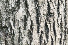Old wood textures. Skin tree look like old Royalty Free Stock Photo
