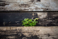 Old wood with thistle selective focus background Royalty Free Stock Photo