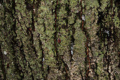 Old wood tree bark texture with green moss. Bedbug-soldier on a tree trunk. Red-black beetle Stock Photos
