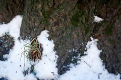 Old wood tree bark texture with green moss. Grass makes its way through the snow Stock Photos