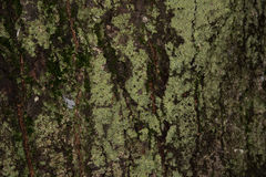 Old wood tree bark texture with green moss, tree bark Stock Photography