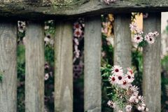 The old wooded fence with flower Stock Image