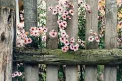 The old wooded fence with flower Royalty Free Stock Photo