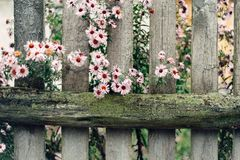 The old wooded fence with flower Stock Images