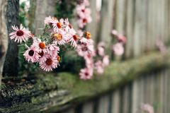 The old wooded fence with flower Royalty Free Stock Image