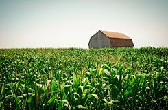 Old wooden barn in the cornfield stock images