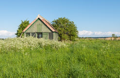 Old wooden barn overgrown with weeds. Landscape in springtime with an old abandoned wooden barn and in the foreground fresh grass and white flowering cow parsley Stock Photo