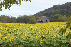 Old wooden barn sits behind a field of blooming sunflowers. Stock Image