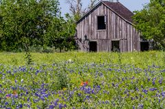 Old Wooden Barn in a Texas Field of Wildflowers Stock Photography