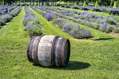 Old wooden barrel in a lavender field Royalty Free Stock Photography