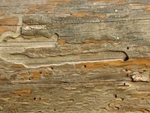 Old wooden Board eaten by worms and beetles. Suitable for rustic style background. Space for text. Wood texture yellow grey colours royalty free stock photo