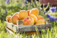 Old wooden box with apricots Stock Photography
