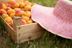 Old wooden box with fresh apricots in garden Royalty Free Stock Photography