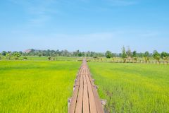 The old wooden bridge stretches in the rice fields stock image