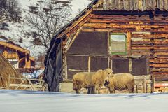 Old wooden cottage and sheep Royalty Free Stock Image