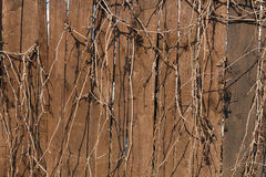 Old wooden fence. Dry vines of wild grapes on a wooden fence stock images