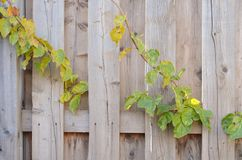 A fence made of old wooden boards, bright colors, and the fence partially plants, a nice background royalty free stock photo
