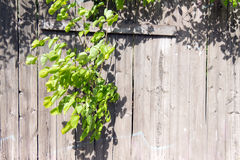 Old wooden fence grey color. Through a hole in the fence sprouted a branch of a tree with green young leaves. royalty free stock photo