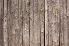 Old wooden fence with ivy shoots. Old wooden fence with green ivy shoots Royalty Free Stock Image