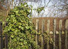 Old wooden fence with ivy Stock Images