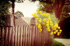 Old wooden fence and many yellow flowers Stock Photo