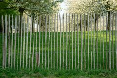 Old wooden fence protect cherry trees orchard. Old wooden fence, protect cherry trees orchard stock photo