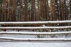 Old wooden fence and thick pine forest in winter