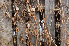 Old wooden fence entwined with last year`s dry grass. royalty free stock photography