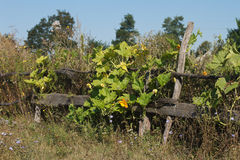 Old wooden fence wreathed with flowers. Pumpkins Royalty Free Stock Image