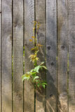 Old wooden fence. Young green twigs pave the way through a wooden fence Royalty Free Stock Photography