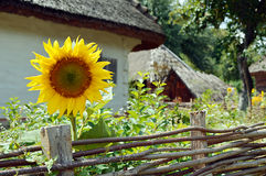 Old wooden house with sunflower Royalty Free Stock Image