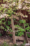 Old wooden ladder in spring garden with blooming cherry Royalty Free Stock Image
