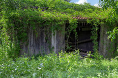 Old wooden outbuilding or shed overgrown with ivy. Royalty Free Stock Photography