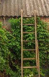 Old wooden stairs on brick wall. Overgrown with ivy Stock Image