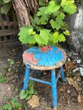Old wooden stool with blue cracked paint stands. Old homely objects thrown out to the environment. An old wooden stool with blue cracked paint stands near a vine stock images