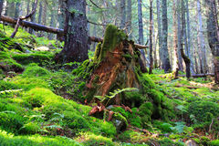Old wooden stump in deep forest Royalty Free Stock Images