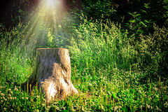 Old wooden stump Stock Image
