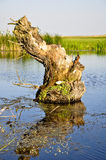 Old wooden stump in the water. Old wooden stump with moss in the water, Romania Royalty Free Stock Photos