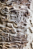Old wooden texture with bark beetle ways Stock Image