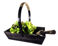 Old Wooden Trug Filled With Lettuce Stock Photo